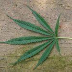 Cannabis sativa01 150x150 - La Plante de la Gentillesse : Cannabis et Chrétienté