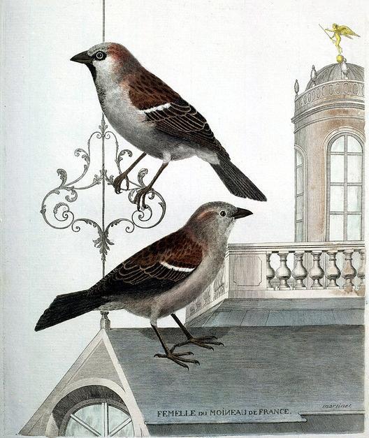 Moineau Femelle du Moineau de France - Vie Ordinaire et Oiseaux Rares